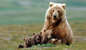 Brown-Bear-With-Cubs-e1451598207142